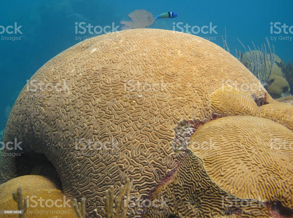Wrasse and Coral stock photo
