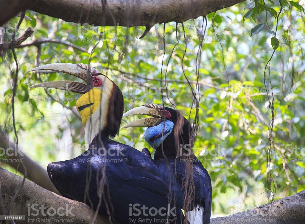 wreathed Hornbill bird royalty-free stock photo