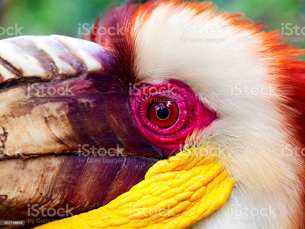 Wreathed Hornbill Close-up stock photo