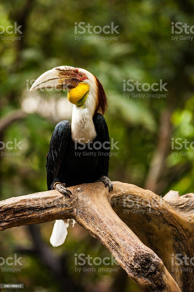 Wreathed Hornbill in Bogor, Indonesia stock photo