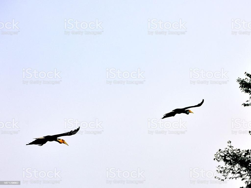 Wreathed Hornbill In Flight stock photo
