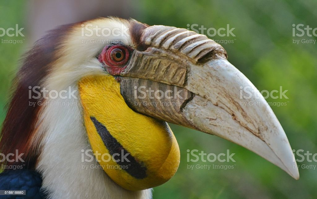 Wreathed Hornbill (Rhyticeros undulatus) stock photo