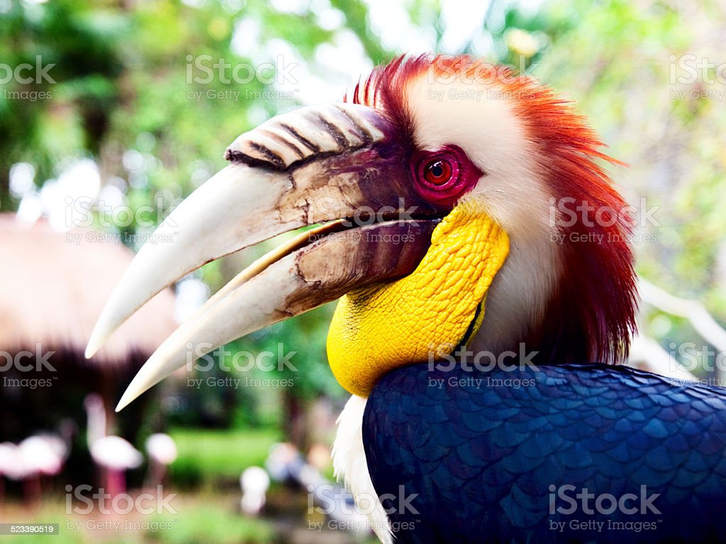 Wreathed Hornbill stock photo