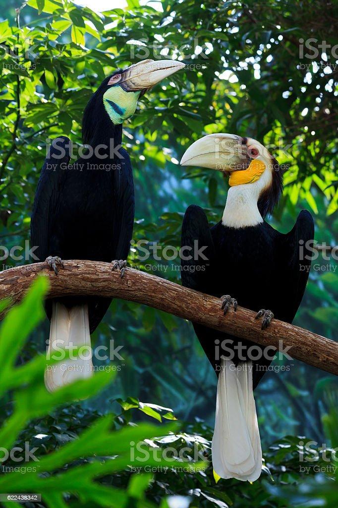 Wreathed Hornbills stock photo