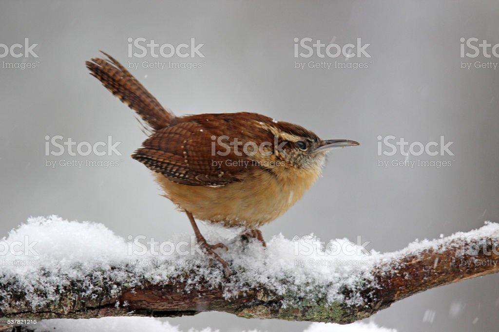 Wren in the Snow stock photo