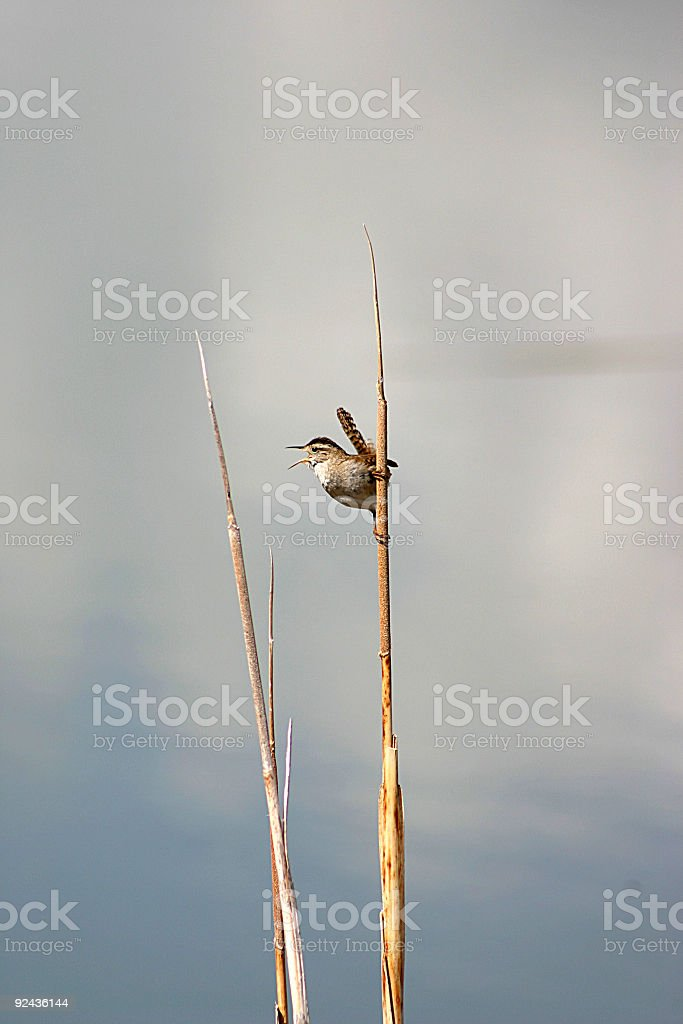 Wren royalty-free stock photo