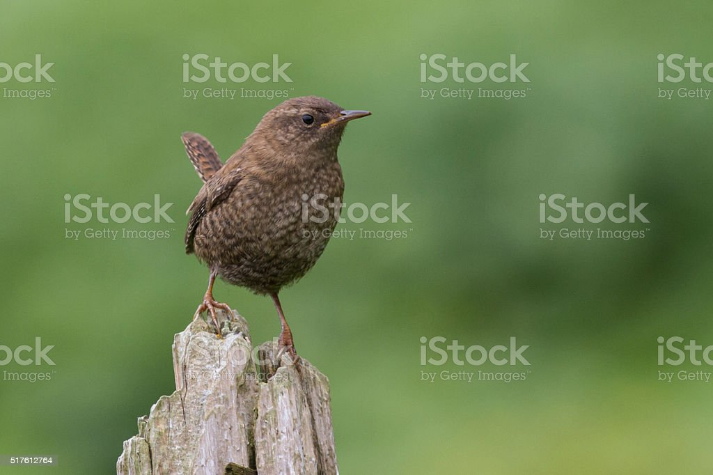 wren young bird that sits on trunk of dry wood stock photo