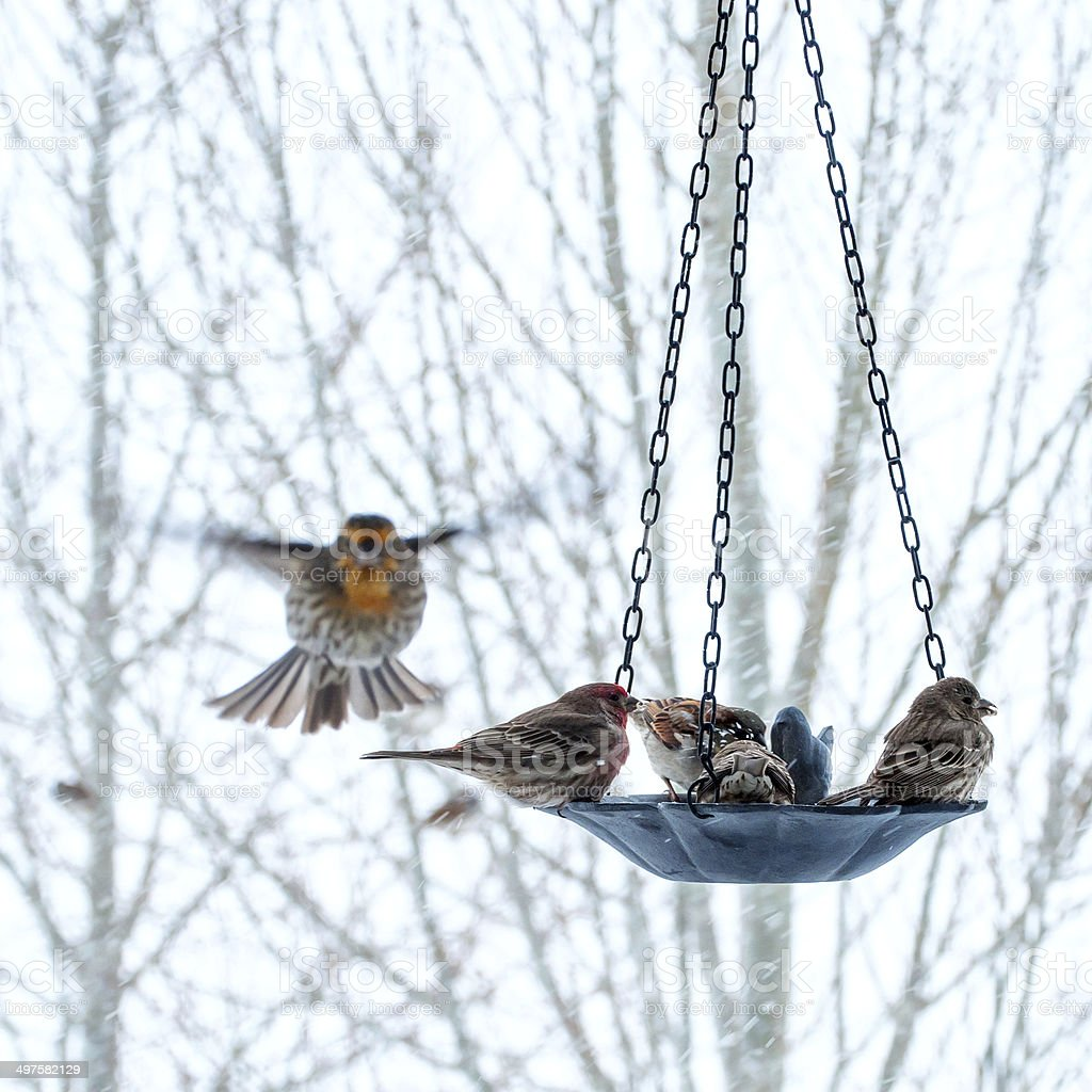 Wrens and Sparrows at the Bird Feeder stock photo