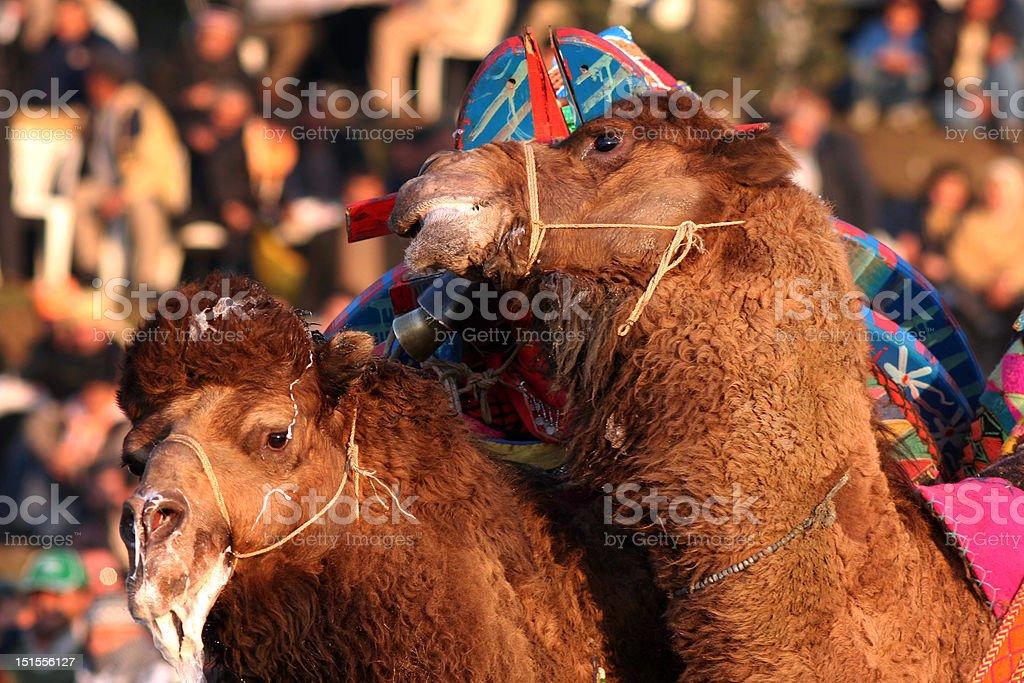 Lutador de camelo foto royalty-free