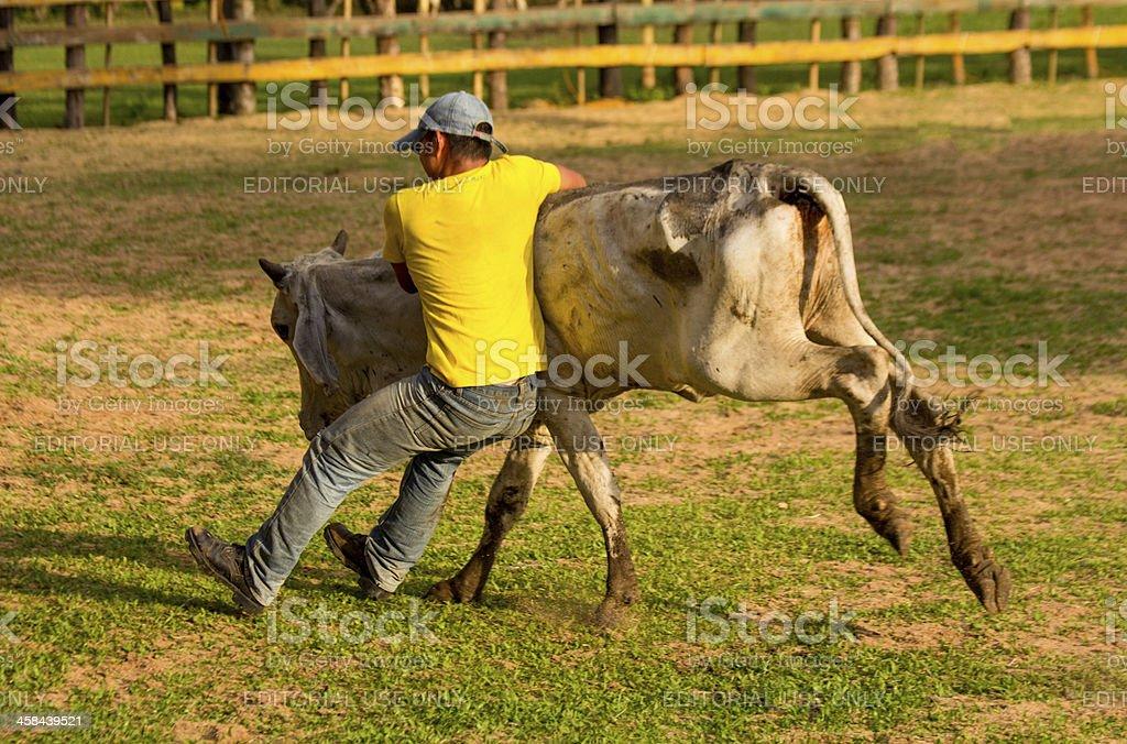 Wrestling a steer stock photo