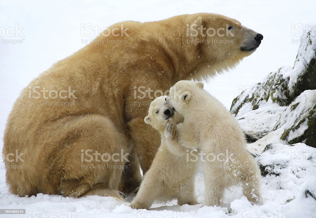 Wrestling of two polar bear cubs royalty-free stock photo
