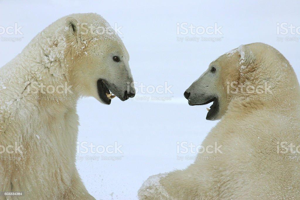 Wrestling wild polar bears face off Hudson Bay Manitoba Canada stock photo
