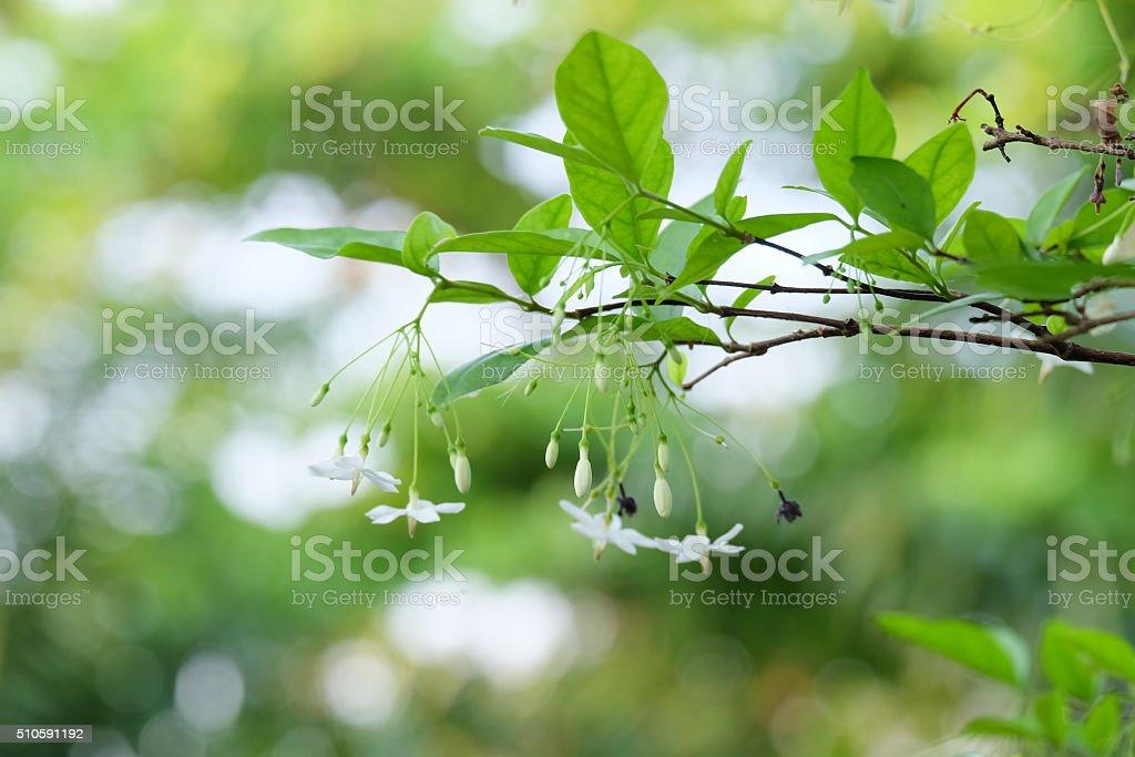 Wrightia religiosa Benth background texture. soft focus. stock photo
