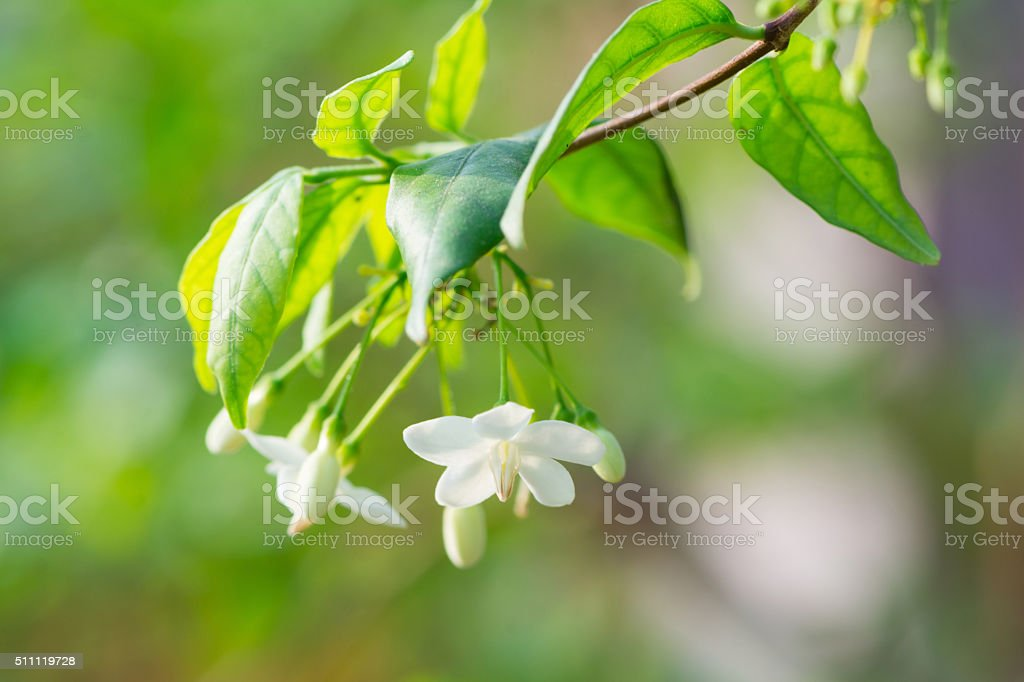 wrightia religiosa benth flower stock photo