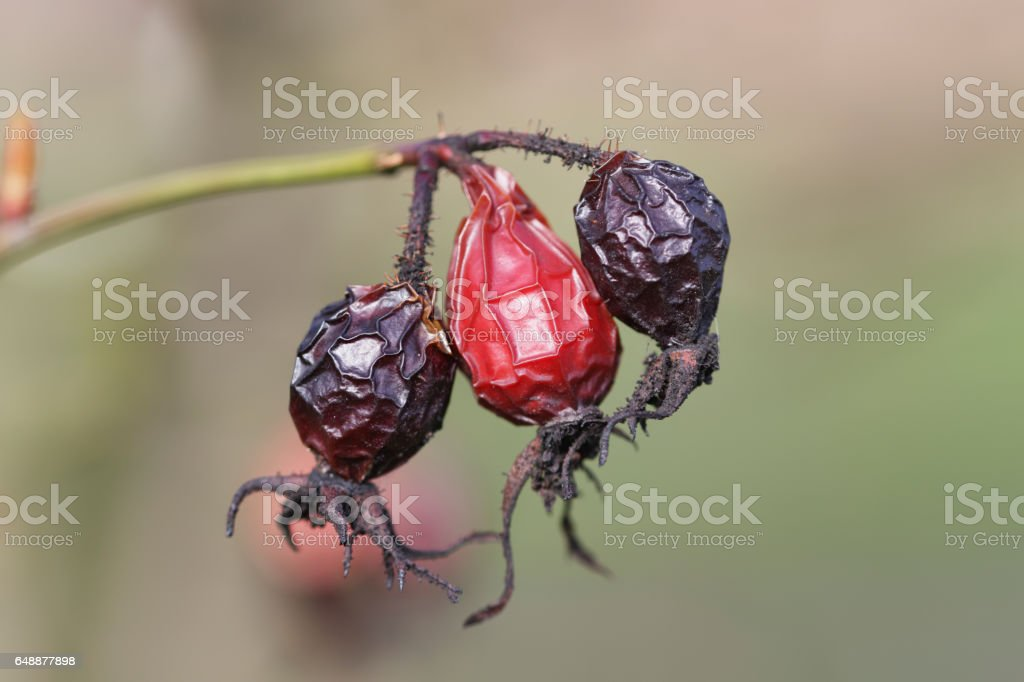 Wrinkled old fruit of hawthorn haws red and black stock photo