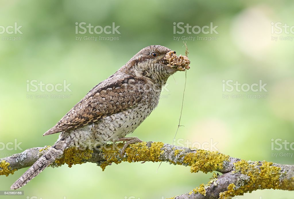 Wryneck perching on a branch stock photo