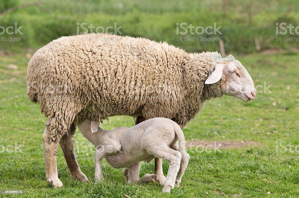 Wuerttemberg sheep stock photo