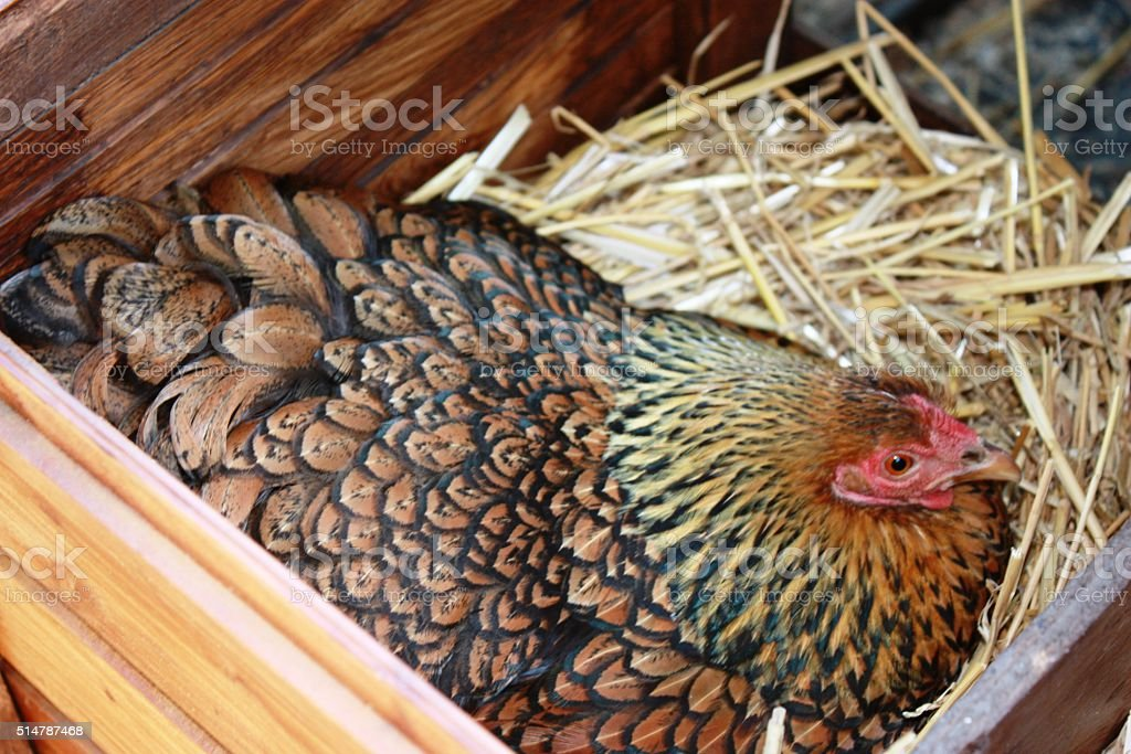 Wyandotte hen lays egg stock photo