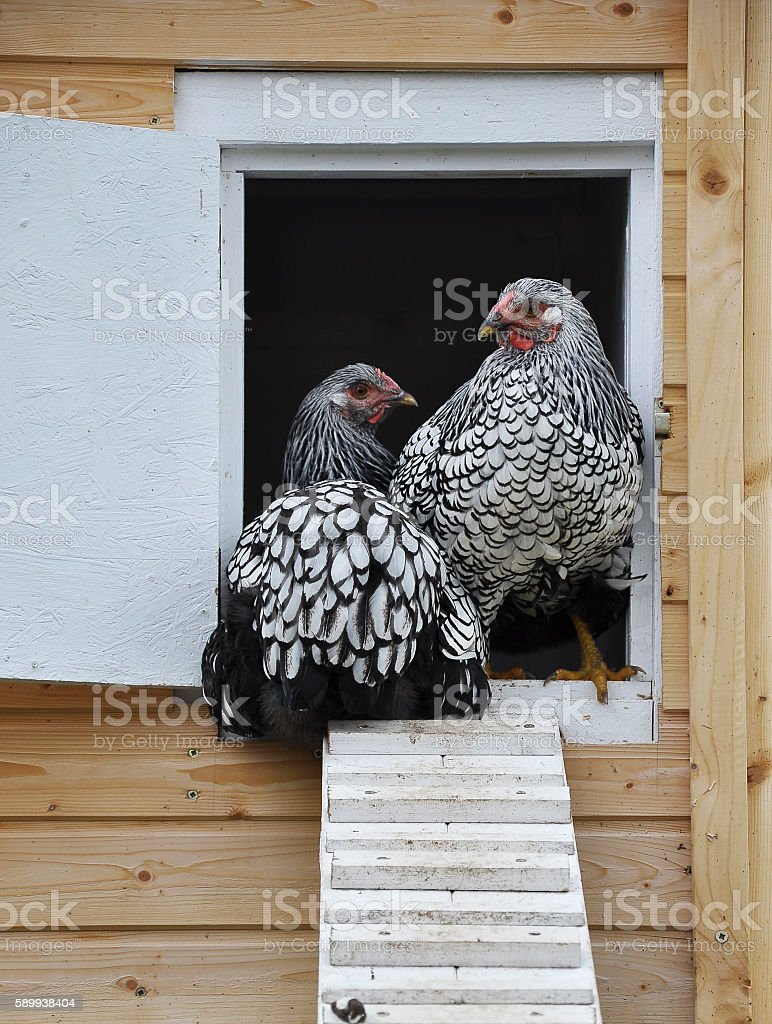Wyandotts in front of chicken house stock photo