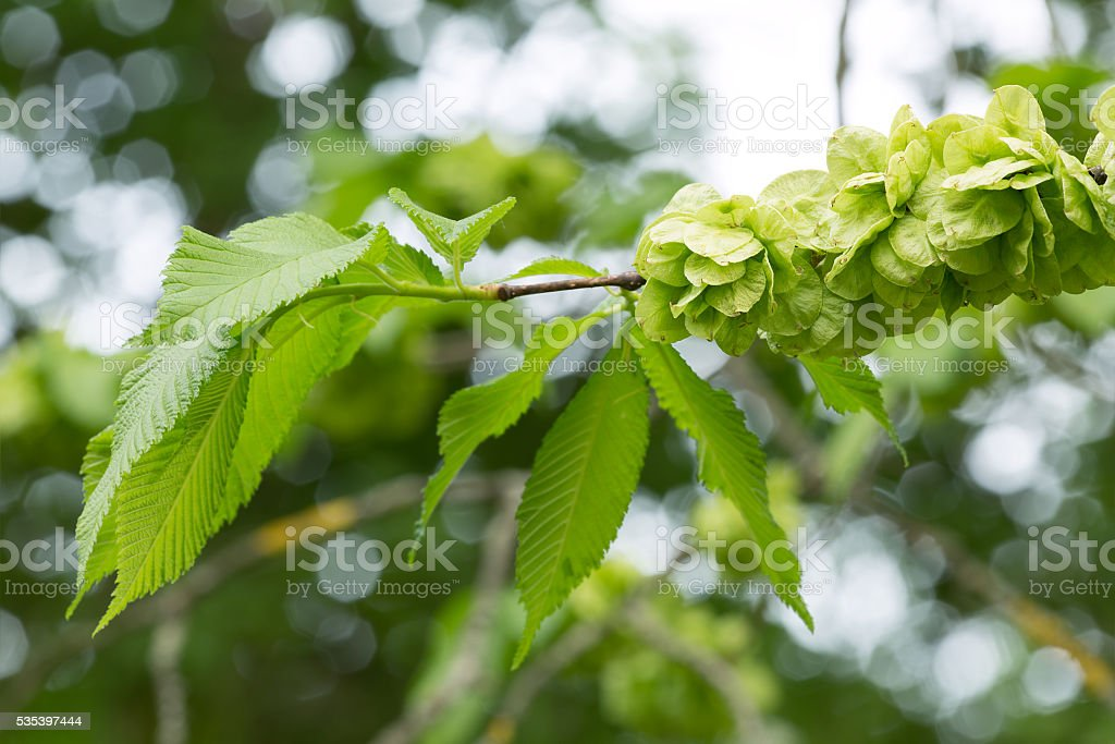 Wych elm, Ulmus glabra branch in springtime, reflections in the background stock photo