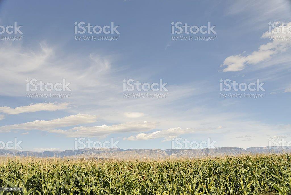 Wyoming Corn Field stock photo
