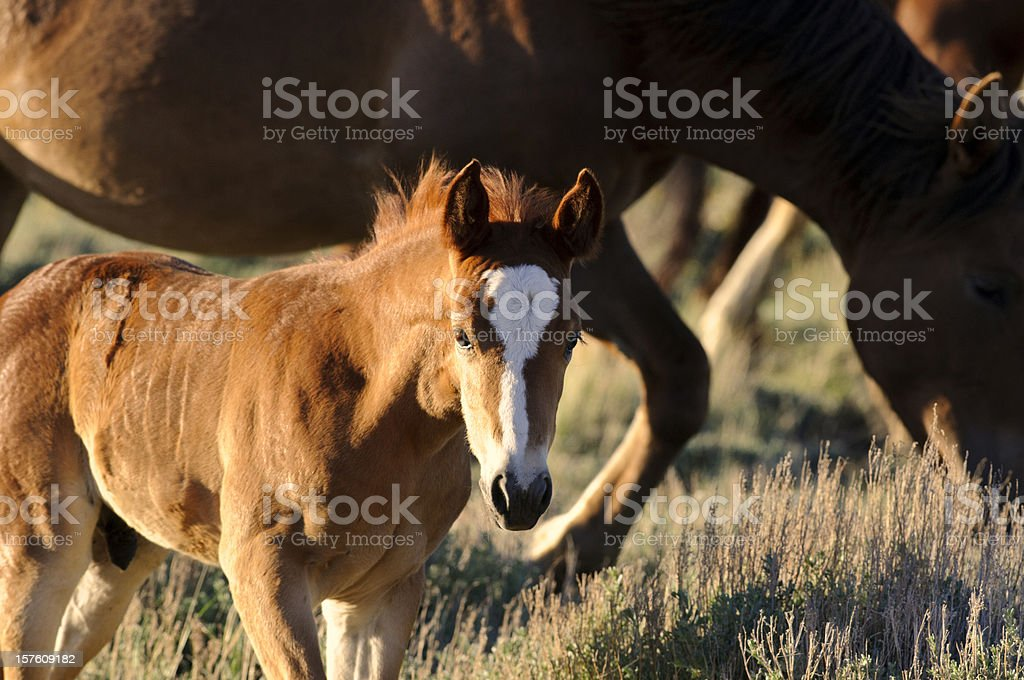 Wyoming Wild  Colt Portrait at Sunset royalty-free stock photo