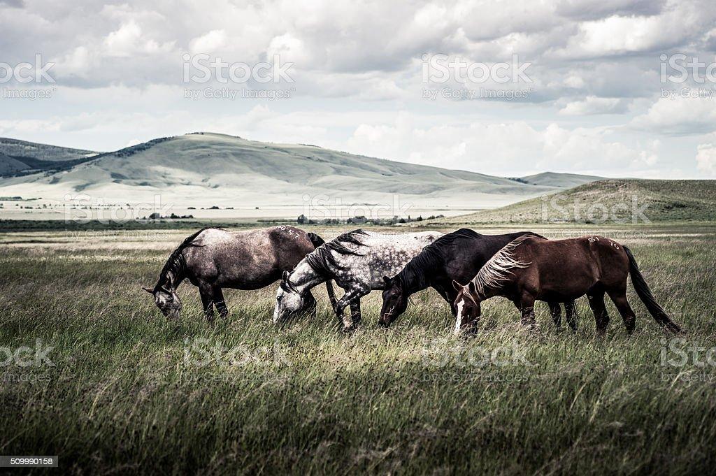 Wyoming Wild Horses stock photo