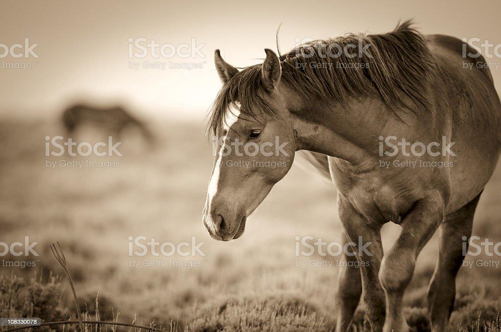 Wyoming Wild Stallion Portrait at Sunset stock photo