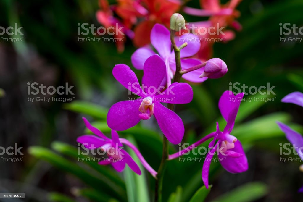 x Mokara Calypso orchids in purple. stock photo
