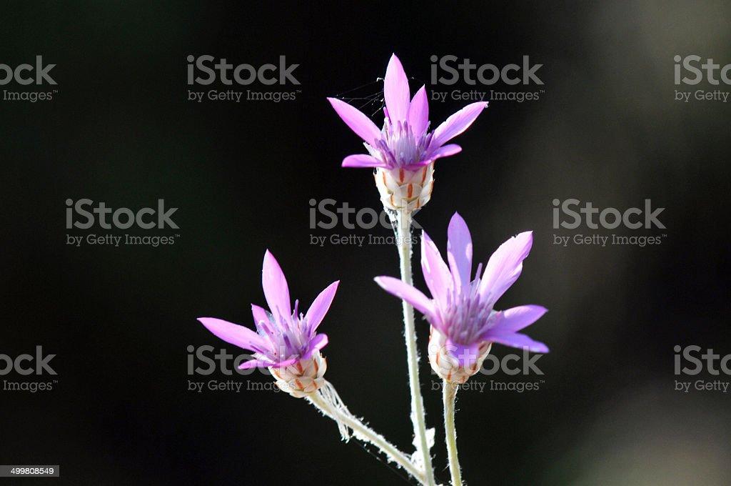 xeranthemum annuum stock photo