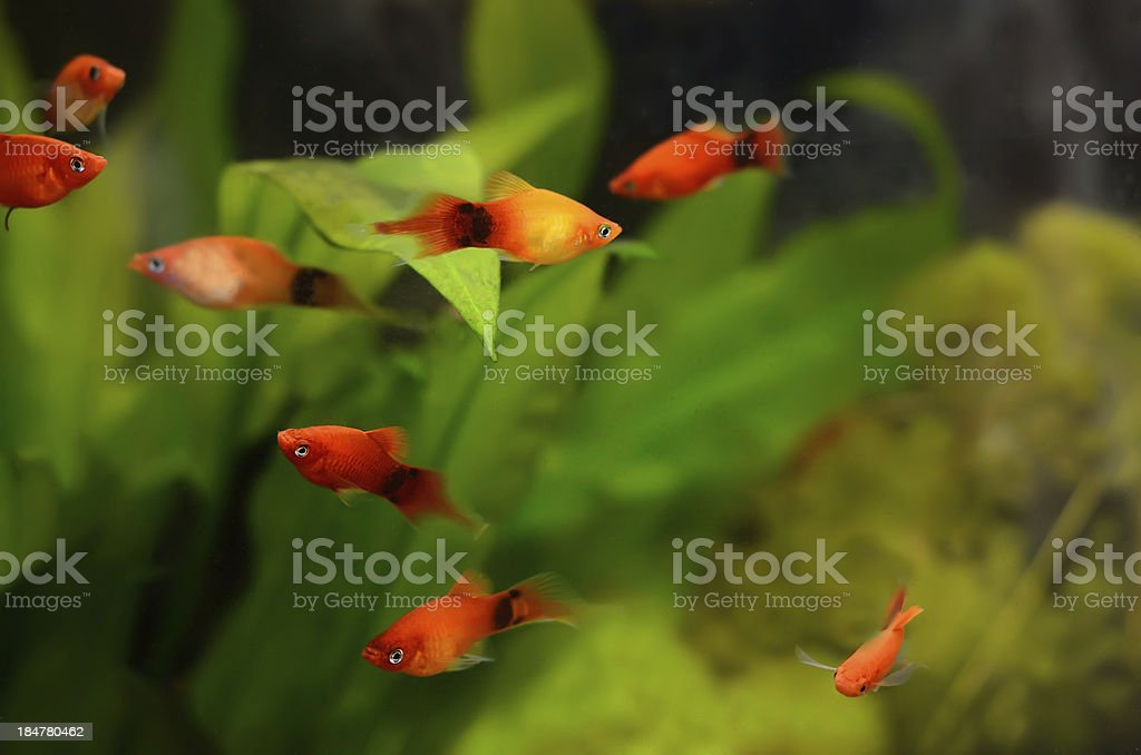 Xiphophorus maculatus fish stock photo