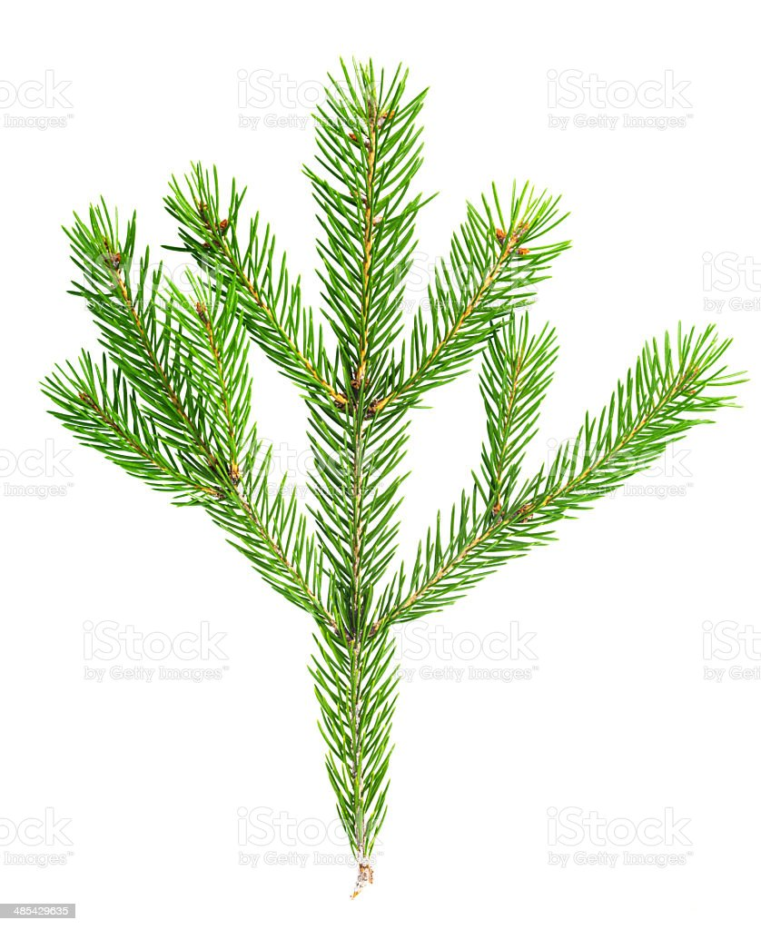 xmas fir tree branch isolated on white background stock photo