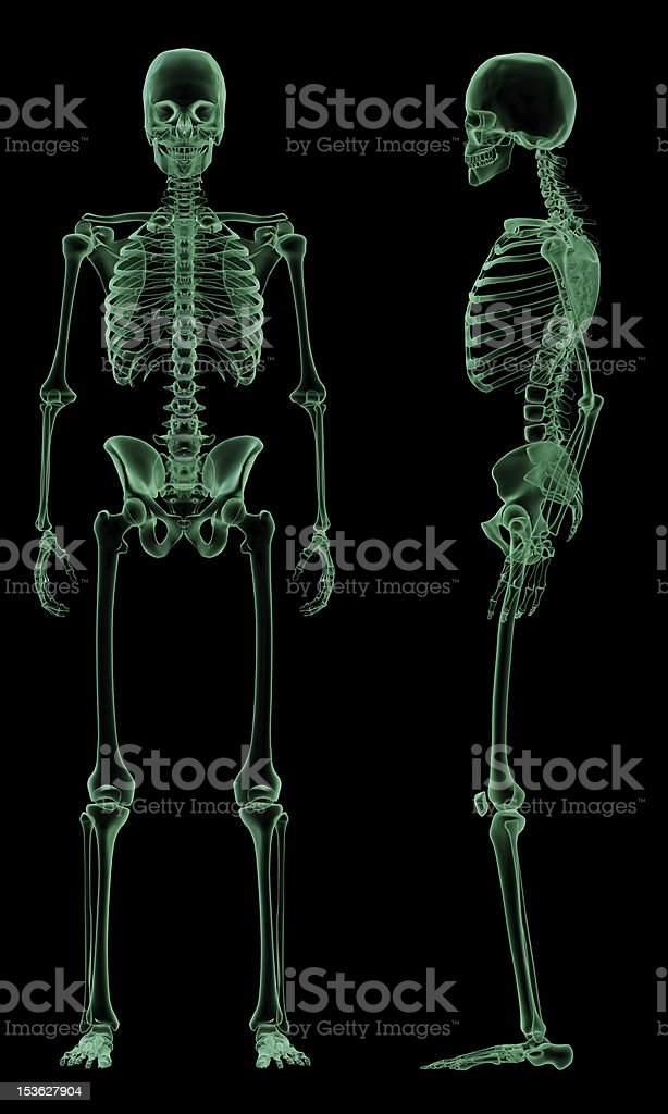 X-ray front and side of Human Skeletal Structure royalty-free stock photo