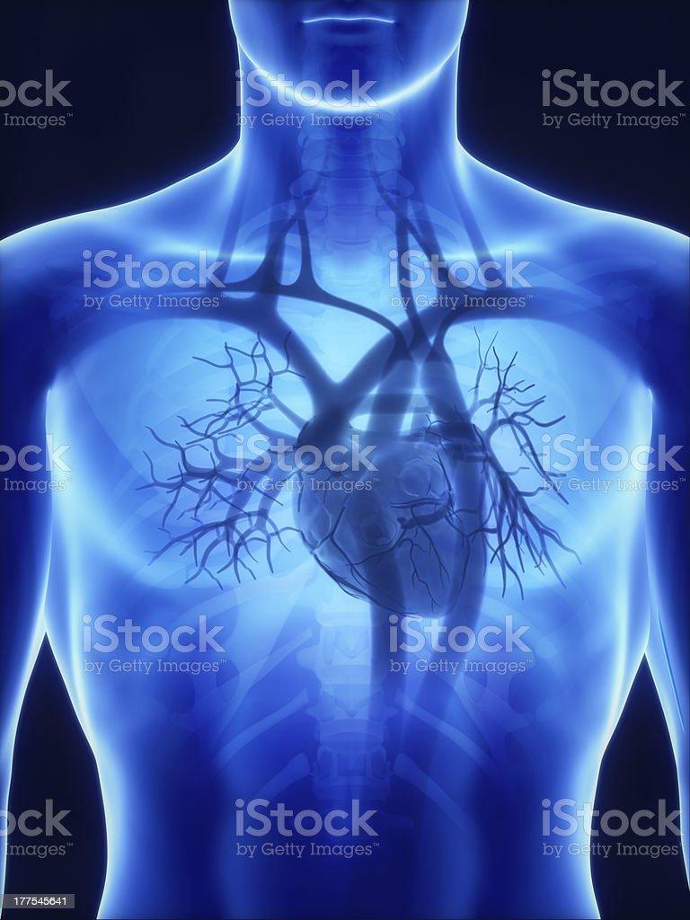 X-ray heart anatomy stock photo