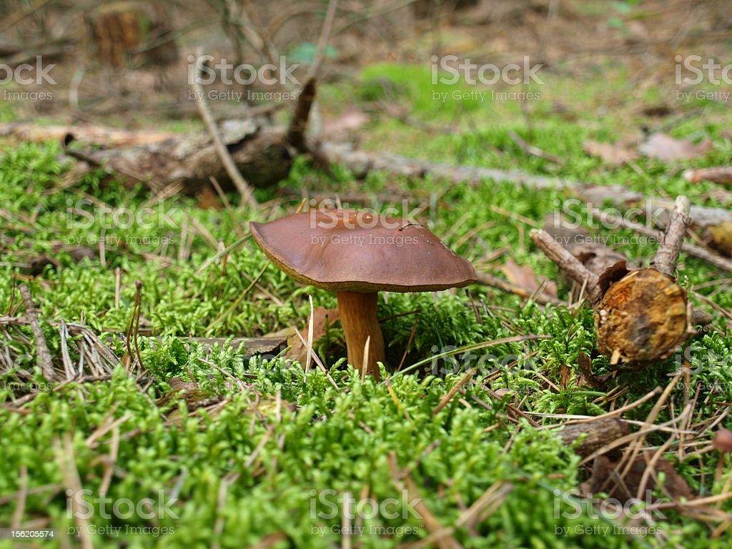 Xserocomus stock photo
