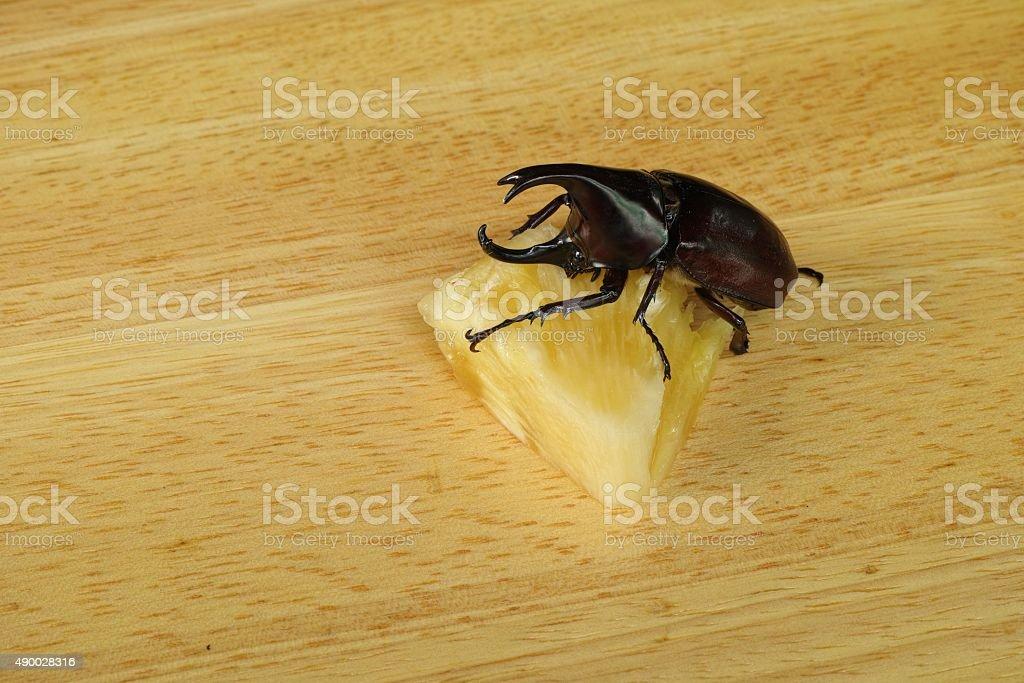 Xylotrupes gideon eat pineapple stock photo