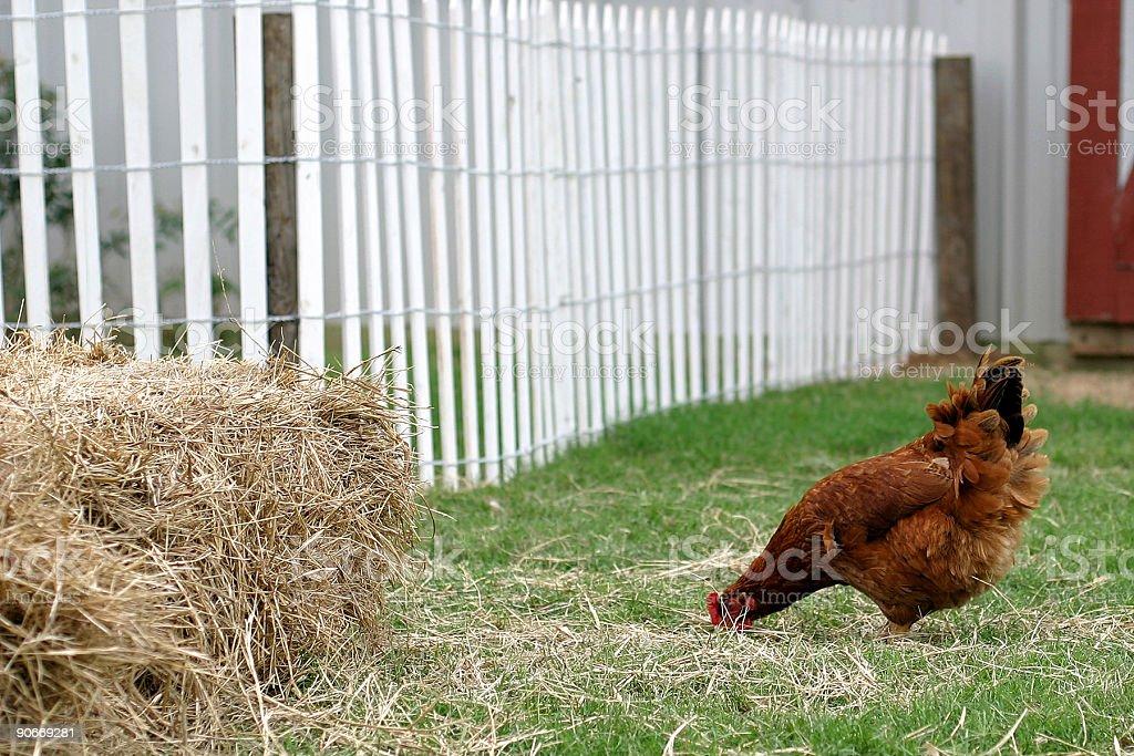 Ya big chicken! stock photo