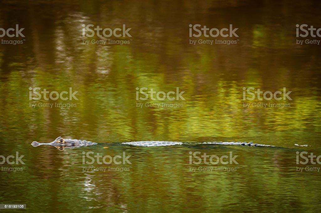 Yacare wetland (Caiman yacare) stock photo