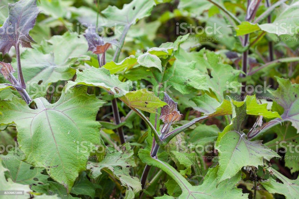 Yacon (Smallanthus sonchifolius) stock photo