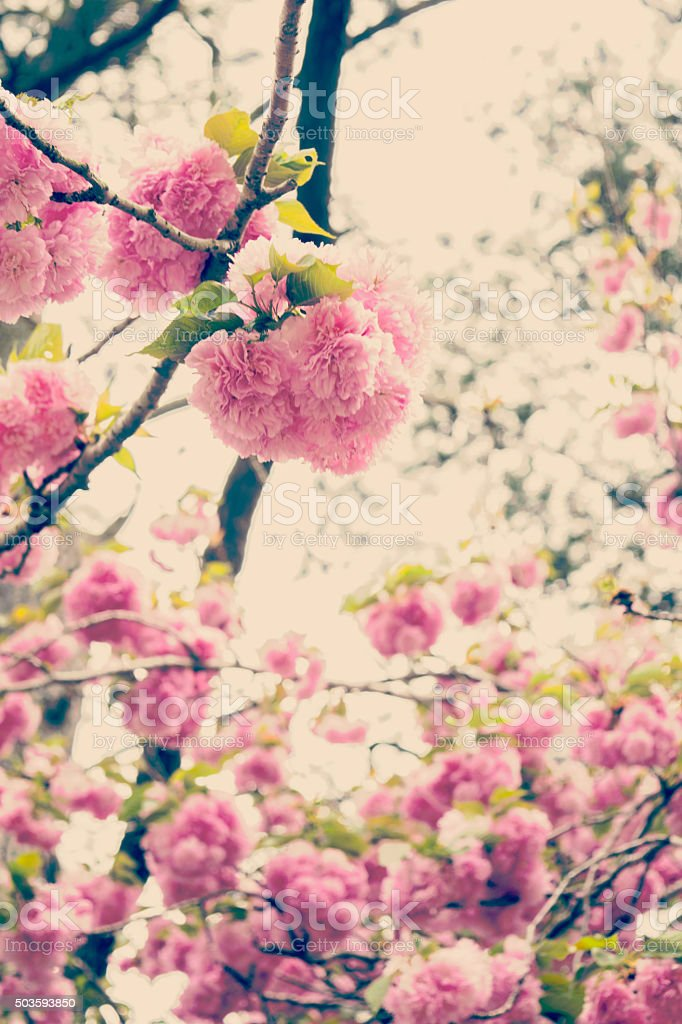 Yaezakura Double Flowering Japanese Cherry Tree Blossoms Retro Tones stock photo