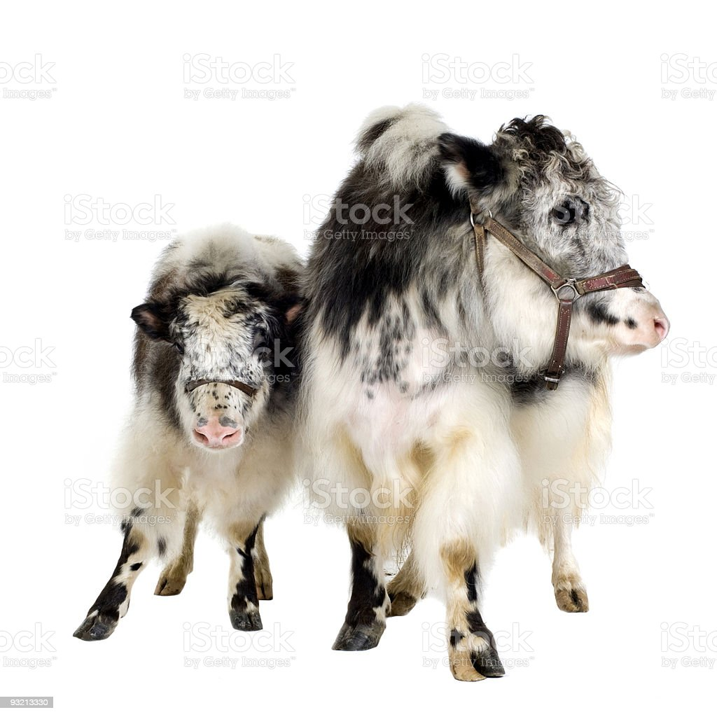 Yak and her calf royalty-free stock photo