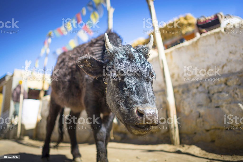 Yak at Nubra Valley Leh Ladahk India royalty-free stock photo