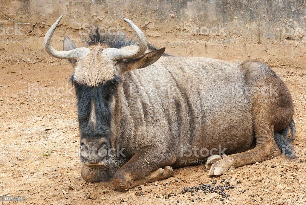 yak bull royalty-free stock photo