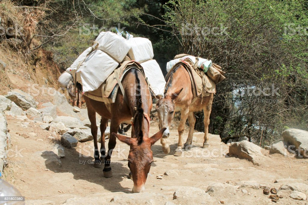 Yak carrying supplies up everest basecamp trail stock photo