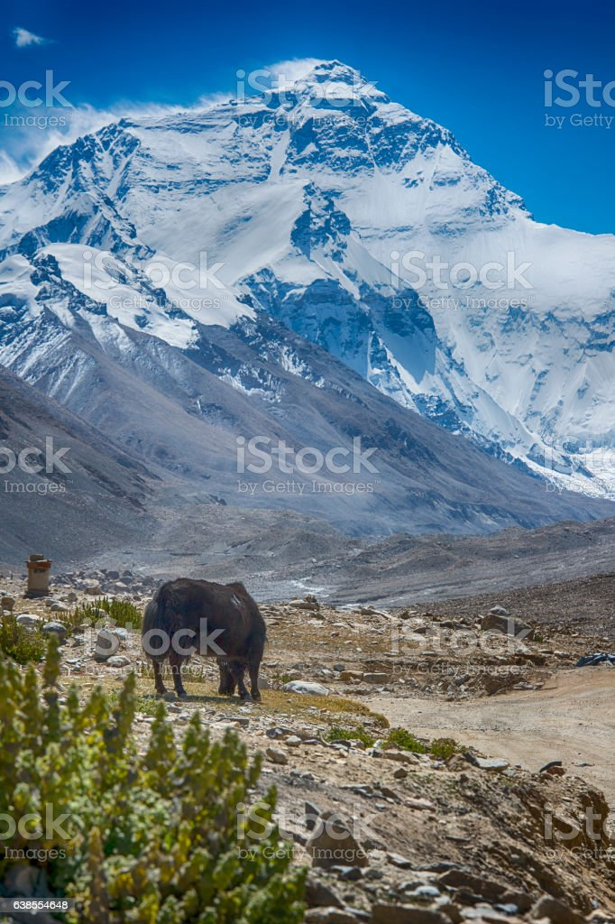 Yak in front of Mt. Everest, near Rongbuk, Tibet stock photo