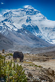 Yak in front of Mt. Everest, near Rongbuk, Tibet