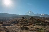 Yak in Himalayas Nepal