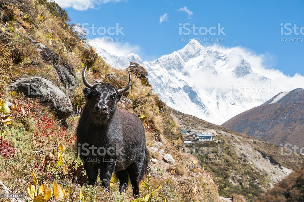 Yak in himalayas, with Lhotse and Everest in background, Nepal royalty-free stock photo