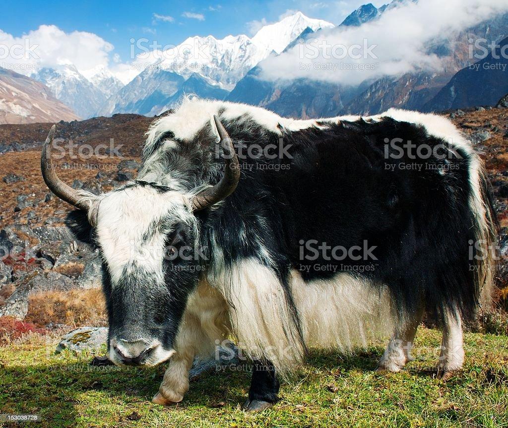 Yak de Langtang valley photo libre de droits