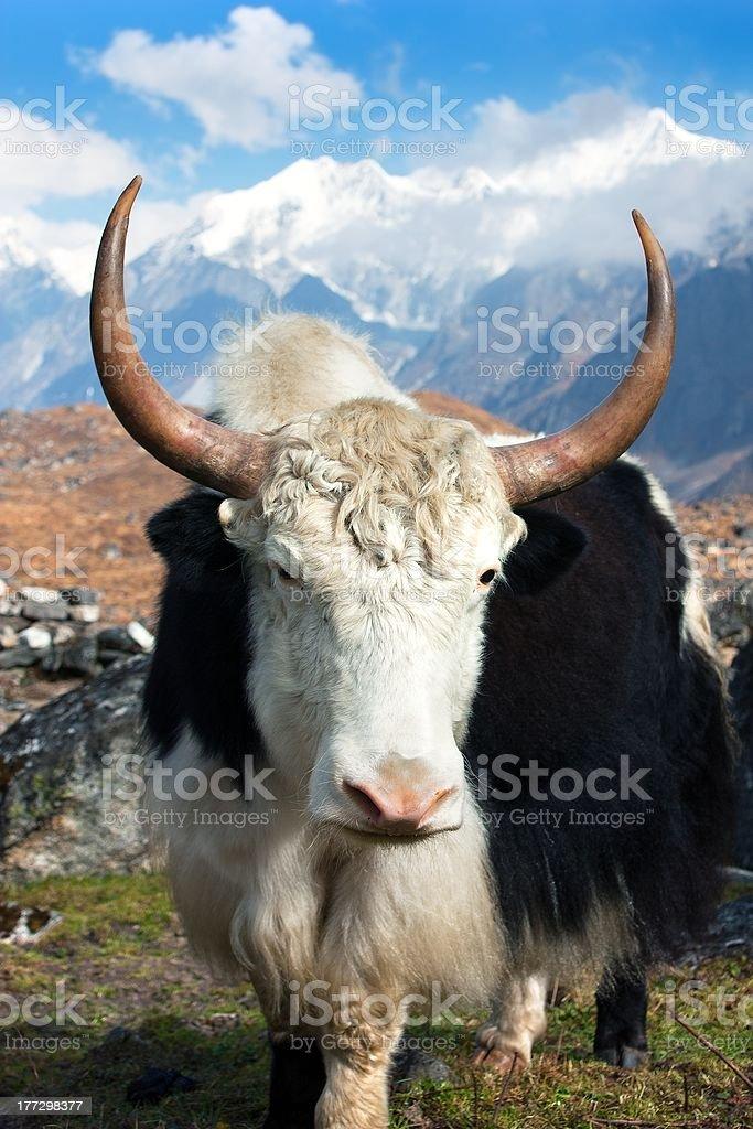 Yak de Langtang valley avec Langshisha Ri mout-Népal photo libre de droits